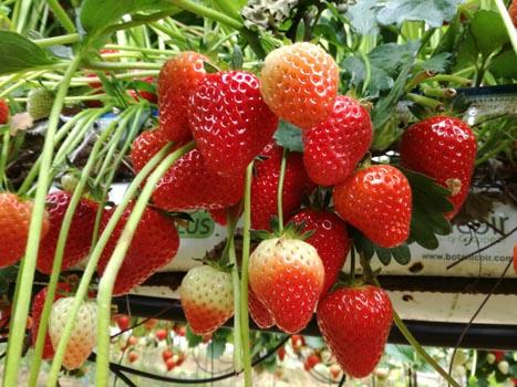 Strawberry farm benefits